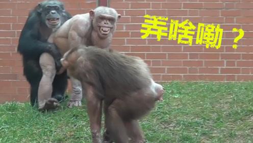 史上最稀有大猩猩,意外成为美国网红,女游客看了羞红了脸!