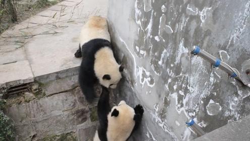 大开眼界!原来熊猫打架这么凶猛互扇耳光,现实版功夫熊猫!