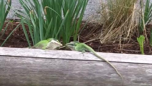 小蜥蜴你们这是在打架吗 怎么看都像是在斗舞