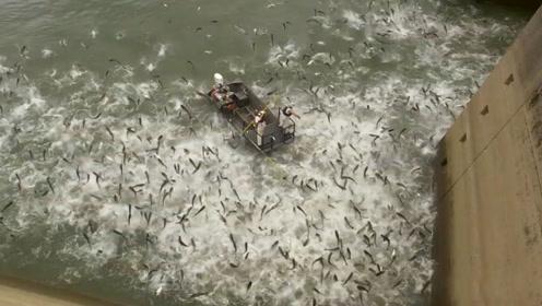 泛滥成灾的亚洲鲤鱼有多疯狂,整个河面都沸腾了