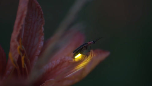夜空中飞舞的萤火虫为何能发光,真相竟然既凶险又浪漫
