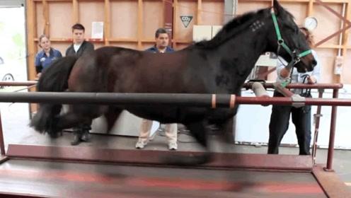 你知道一匹马能跑多快?老外把马送上跑步机,结果让人出乎意料