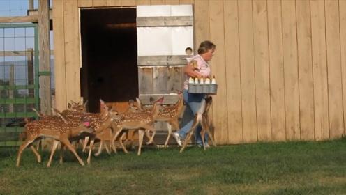 农场主强推的喂奶方式,一次性喂十只,省时又省力