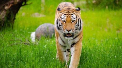 为什么吃过人的老虎几乎会被杀掉?听了动物学家解释,恍然大悟