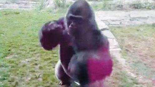 大猩猩被小孩行为激怒,一拳击碎了钢化玻璃,镜头记录下这一幕