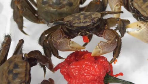 丧心病狂老外喂螃蟹吃辣椒,3秒后螃蟹彻底嗨了,场面直接失控!