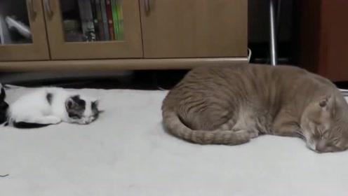 超萌的两只小猫咪,就连睡觉的样子都像是复制粘粘的