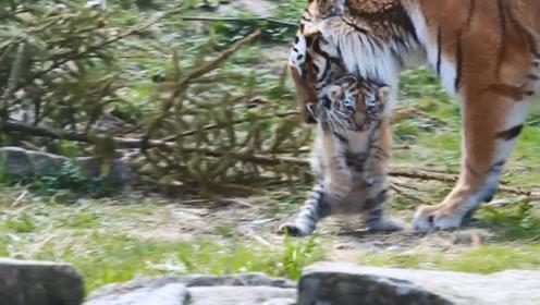 小老虎:妈!我已经长大了,能不能别整天把我叼来叼去,好没面子