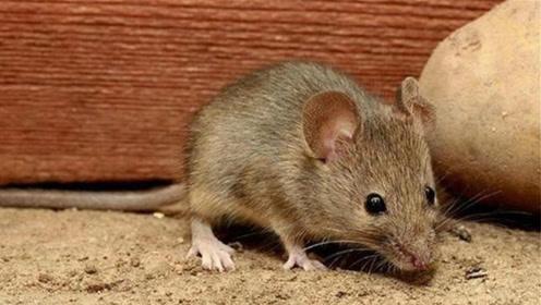 灭老鼠千万别用药,一把黄豆加点它,老鼠进屋别想跑,安全又高效