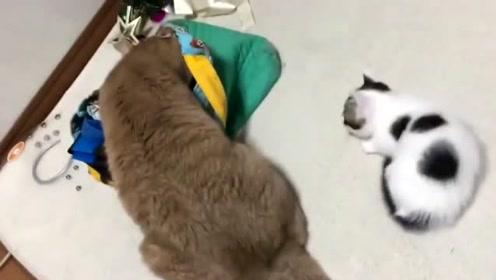 """这么无赖奶牛猫,来到橘猫身边一言不合就躺下""""碰瓷"""""""