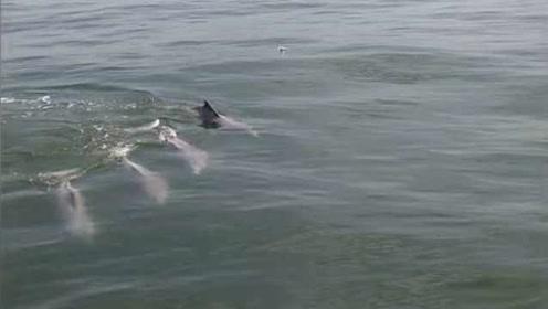 """南海开渔节巧遇""""海上大熊猫"""",约20头中华白海豚在海面嬉戏"""