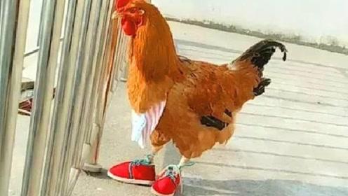 鸡穿上鞋子走路,画面如何?简直太魔性了!一起来看看吧