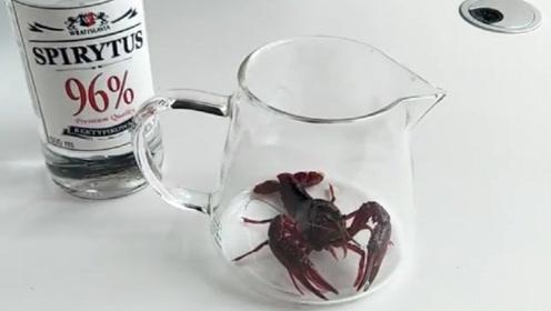 用高度酒精浸泡小龙虾,会发生什么?网友:太神奇了