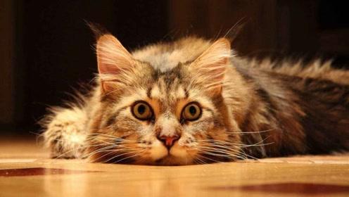 宠物百科:十二生肖为什么没有猫