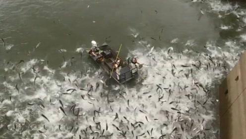美国鲤鱼泛滥成灾,无奈雇佣中国电鱼技术清理,场面真是太壮观