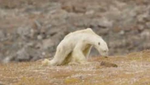 心酸!因气候变暖北极熊无处容身,如今饿到皮包骨翻垃圾吃!