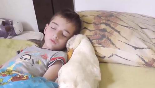 五岁萌娃养鹅当宠物,一人一鹅一起睡觉,网友:还挺可爱的!