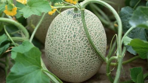 世界最贵水果,国外卖6万到中国却10块一斤,天天吃没压力