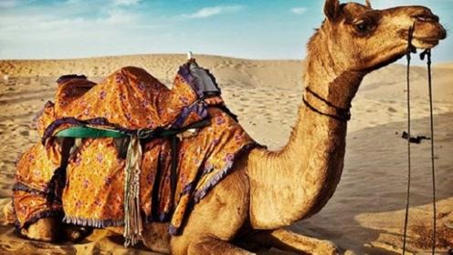 为什么沙漠中驼人的都是公骆驼,母骆驼都去哪里了?今天明白了