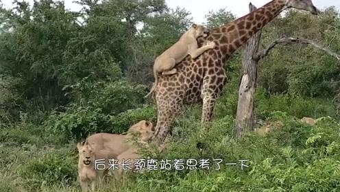长颈鹿居然从狮群的口中逃脱,死都不忘记吃!
