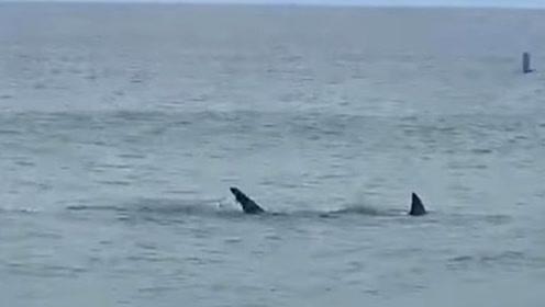 海边一大白鲨撕咬海豹 鲜血染红了海水