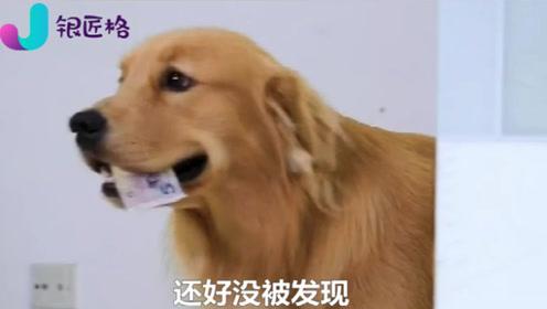 主人发现金毛偷钱,偷偷跟踪金毛后看到真相,主人给狗狗点赞