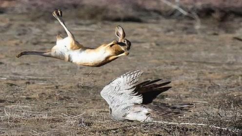 兔子胆子太肥,竟飞天打老鹰的脸,老鹰瞬间懵圈,网友:成精了!