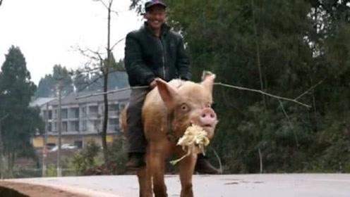 """大爷整天""""骑猪""""出门,全村人羡慕,富二代出价50万都不卖"""
