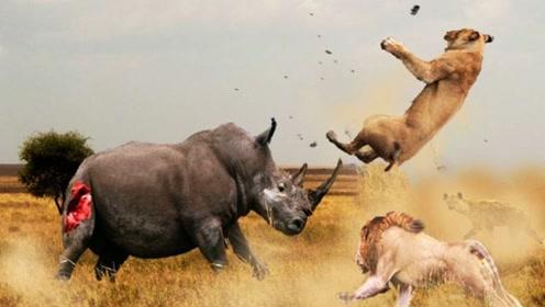 3只狮子围攻一头犀牛,不料却被犀牛反扑,镜头记录精彩瞬间!