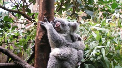 名不副实的树袋熊,千万不要以为它是熊科动物,它们可相差甚远!