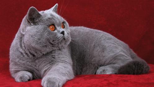 全球最贵的5种猫,国内没有一只上榜,最后一种竟然需要50万!