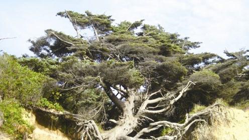 美国生命之树悬空在两座山之间 没有土壤却活了300多年