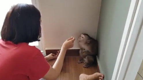 猴子闯祸,不满主人教训自己和主人顶起嘴来,主人还吵不过猴子