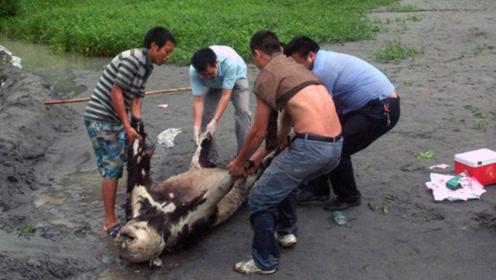 """""""掌上明珠""""大熊猫死后,尸体会怎样处理呢?既狠心又心酸"""
