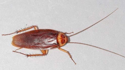 蟑螂的生命力为何这么强?到底由什么生物进化而来?看完后懵了!