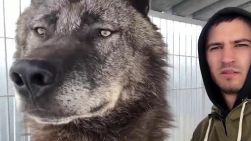 这是世界上最大的狼,身长能达到2米,秒杀藏獒易如反掌!
