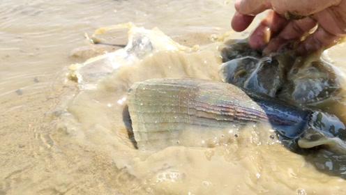 大退潮花甲螺都跑出来了,两小时起码捡了三斤海螺,过瘾