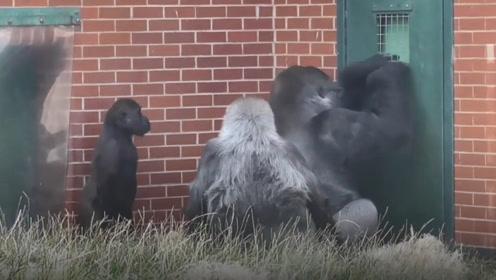 猩猩一家想要逃离动物园,和饲养员交谈失败后,竟然拿儿子出气