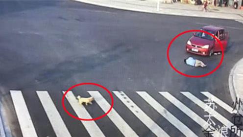 男子横穿马路被车撞,哪想旁边小狗现场教学,如何过马路!