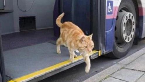 猫咪独自坐公交,司机每天都会等它上车,背后的原因让人感动