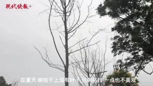 南京大明路百余棵行道树枯死,养护公司:高温天气不适合树苗生长