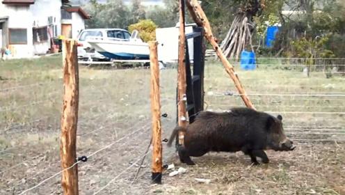 贪吃野猪落入电篱笆陷阱,触电后无处可逃,镜头拍下全过程