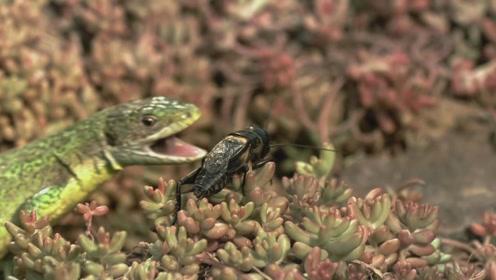 蟋蟀忙打架,蜥蜴乐哈哈