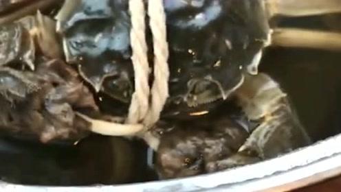 螃蟹自己解了腿上的绳子,又在解嘴上的,真是太搞笑了!