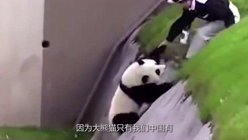 为什么国外出生的大熊猫最后都要还回中国?看完长知识了