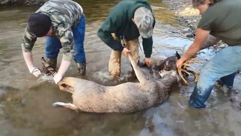 两只小鹿打架,鹿角死死地交织在一起,男子只好出此下策!