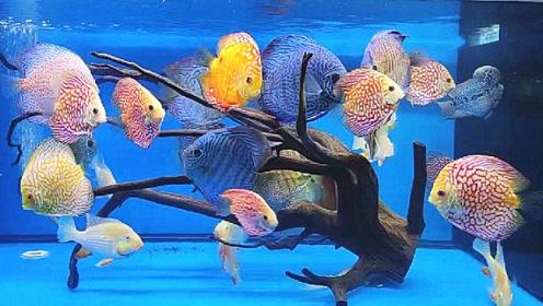 混养8个月的野生七彩鱼,给人的感觉真不错,真想抓几条养在家里