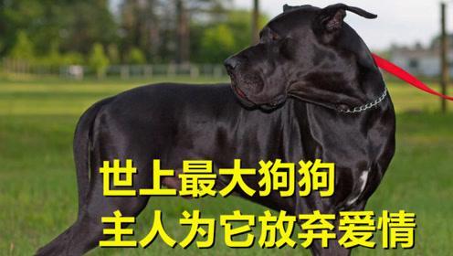 """世界上最大的狗,站起身达2.3米,女主人为它当起""""全职妈妈"""""""