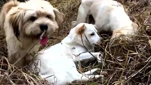萌宠 记录乡下土狗日常,比城里的宠物狗自由自在多了!