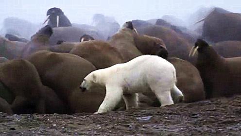 守着这么多猎物,北极熊一个都没抓到,这也太悲催了吧?